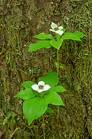 Bunchberry in bloom, Washington