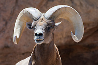 Desert Bighorn ram, Ovis canadensis nelsoni, at the Arizona-Sonora Desert Museum, near Tucson, Arizona. (Captive)