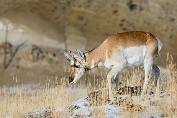 Young Pronghorn Antelope (Antilocapra americana) buck on grasslands along northern boundry of Yellowstone National Park, Montana.  December.   Has lost the outer sheath of his horns.
