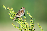 Savannah sparrow, Passerculus sandwichensis, perched on plant, singing, Nova Scotia, Canada
