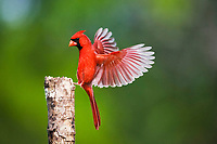 northern cardinal, Cardinalis cardinalis, male landing, Sinton, Corpus Christi, Texas, USA, North America