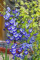 Tropaeolum azureum blue flowers, climbing vine annual plant