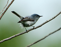 Adult male blue-gray gnatcatcher in breeding plumage