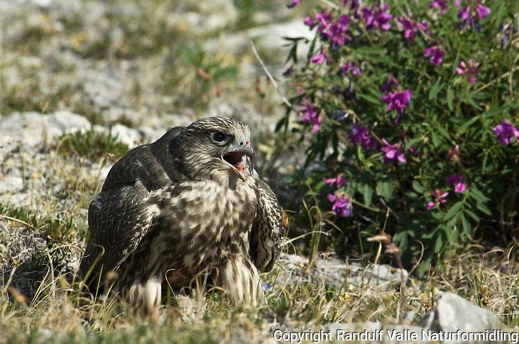 Ung jaktfalk spiser rype. ---- Young gyrofalcon eating.