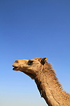 Israel, a camel in the Northern Negev