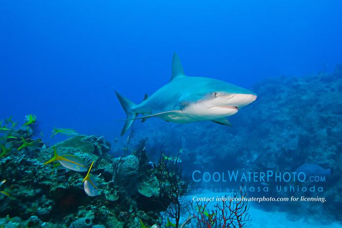 Caribbean Reef Shark, Carcharhinus perezi, over coral reef, West End, Grand Bahamas, Atlantic Ocean