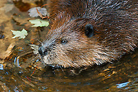 Beaver (Castor canadensis) and maple leaves in water, autumn, Nova Scotia, Canada.