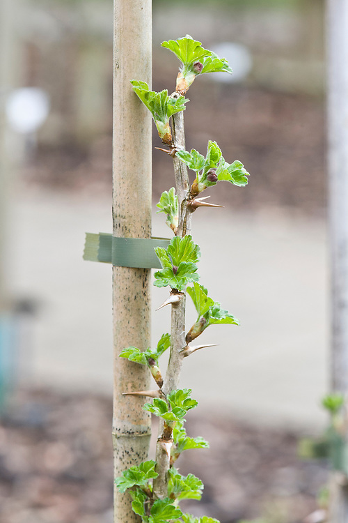New-season foliage on a 'Langley Gage' gooseberry cordon, mid March.