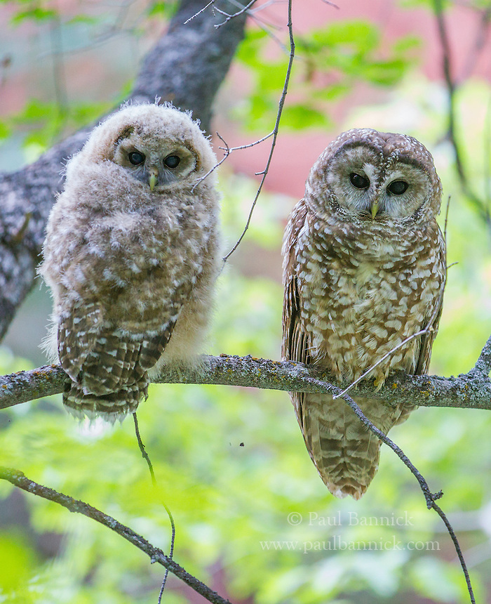 Spotted Owls thrive in ancient cathedrals of redwood and red-rock.  In<br /> the dank northern forests the canopies trap heat, while in the scorching southwest, the zig-zag canyons provide shade and the streams cool the air underneath the tree-canopies. (Utah)