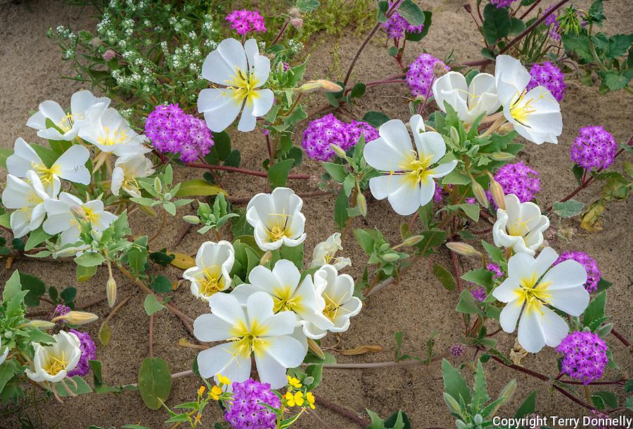 Anza-Borrego Desert State Park, CA:  Desert wildflowers detail of dune evening primrose (Oenothera deltoides) and desert sand verbena (Abronia villosa)