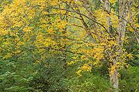 Paperbark Birch in autumn color