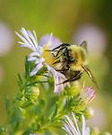 Bumble Bee on Fleabane wildflower