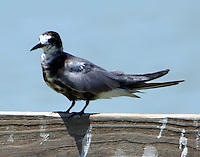 Molting adult black tern