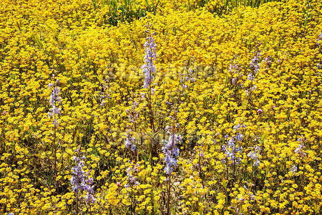 Larkspur in a carpet of colorful, spring wildflowers, including goldfield and tidy tip, California Valley, Carrizo Plain, San Luis Obispo County, Calif.