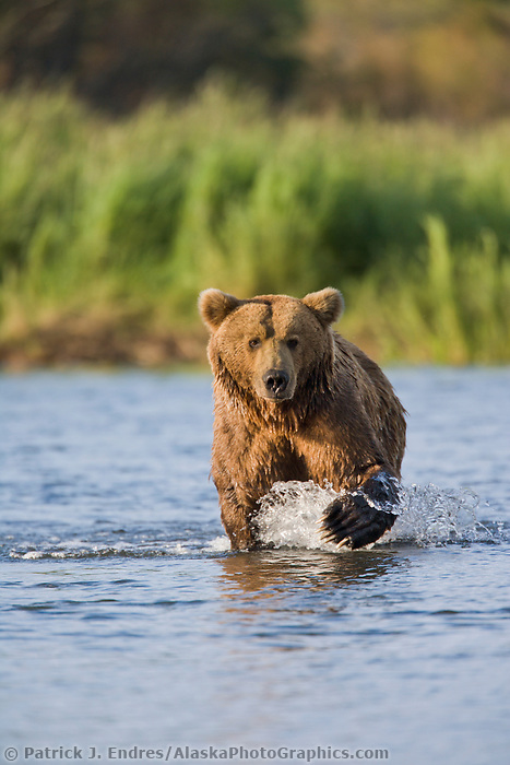 Brown bear, Brooks River, Katmai National Park, Alaska