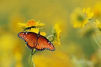 Queen Butterfly (Danaus gilippus), adult feeding on Huisache Daisy (Amblyolepis setigera), Laredo, Webb County, Texas, USA