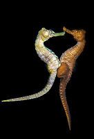 slender seahorse, Hippocampus reidi, aka longsnout seahorse, mating, Blue Heron Bridge, Lake Worth Lagoon, Riviera Beach, Florida, USA, Atlantic Ocean