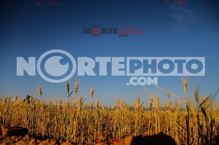 Cultivo de maíz. Espigas de maíz.