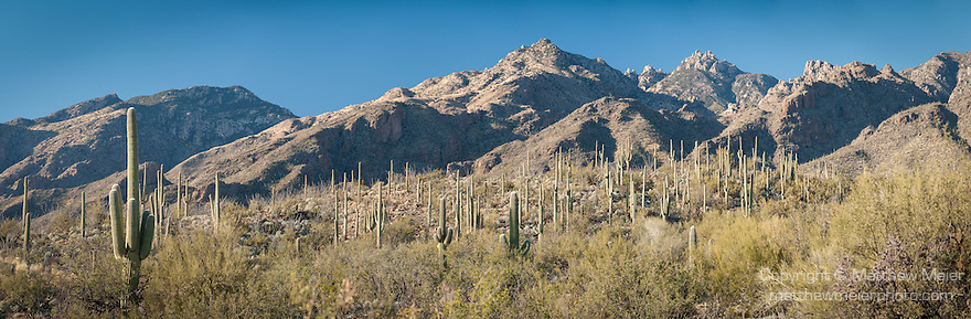Sabino Canyon Recreation Area, Tucson, Arizona; a panoramic view of Saguaro Cactus (Carnegiea gigantea) dotting the landscape at the base of the mountains in late afternoon sunlight