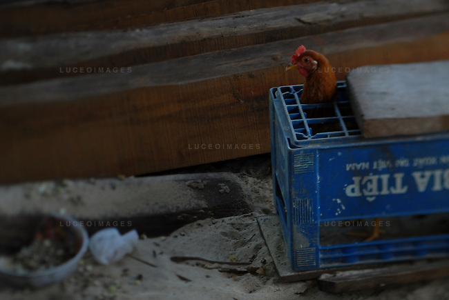 Vietnamese chicken is kept from walking around in Hoi An, Vietnam.