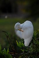 Garças <br /> Ardeidae é a família de aves ciconiformes que inclui os socós e as garças (da mesma origem incerta que o espanhol garza; possivelmente de uma forma pré-romana *karkia). Vivem aos bandos, frequentam rios, lagoas, charcos, praias marítimas ou manguezais de pouca salinidade, e se alimentam principalmente de peixes, sapos e outros animais aquáticos. <br /> Belém, Pará, Brasil.<br /> Foto Paulo Santos<br /> 2008