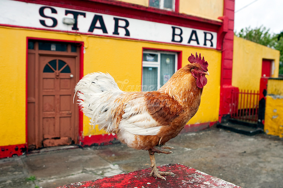 A cock sits on the wall at the Lucky Star Bar, Inis Mór, Aaran Islands, County Galway, Ireland..The island of Inis Mór ( meaning the big island) is one of the most popular tourist destinations in Ireland. The islands inland landscape of uniquely blanketed rock surface are glazed with man made rock walls that meander and cross all directions as far as one can see. Well known internationally, it is steeped in history and resembles an outdoor museum with over 50 different monuments of Christian, pre Christian and Celtic mythological heritage. Picture James Horan