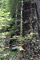 Scenery - Redwoods