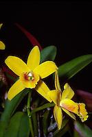 Sophrocattleya Beaulu Queen, orchid hybrid of Sophrocattleya Beaufort x Cattleya luteola, mini-cattleya