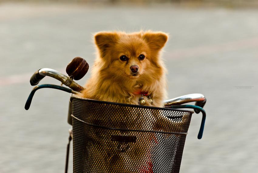 Dog in a bicycle basket, Zhenjiang, China