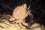 Calico Crab P-town©Janet MacCausland.jpg