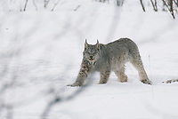 Lynx tucked away in the winter, snow covered boreal forest of the Brooks Range, Arctic, Alaska