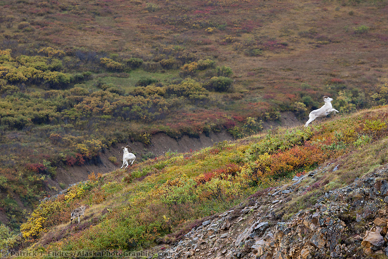 Gray wolf chases two dall sheep rams across an autumn colored ridge in Polychrome pass, Denali National Park, Interior, Alaska.
