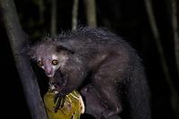 Africa, Madagascar, Aye-Aye Island. Aye-Aye lemur eating a coconut at night.