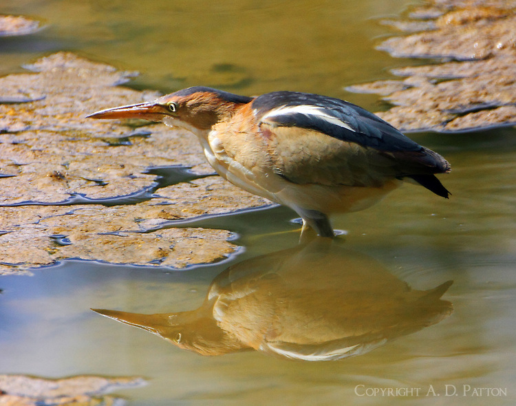 Adult male least bittern looking for fish