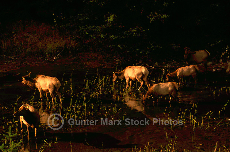 Jasper National Park, Canadian Rockies, AB, Alberta, Canada - Elk Cow Herd, Wapiti (Cervus canadensis), drinking at Watering Hole, Sunset