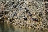 USA, Alaska, Homer, China Poot Bay, Kachemak Bay, birds spotted in the waters near the Kachemak Bay Wilderness Lodge