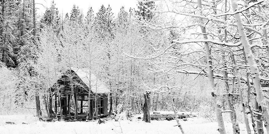 An abandoned pioneer cabin and snowy Aspen trees near Truckee, California. This old cabin sits in a meadow above Truckee, CA. The homesteader used the meadow to graze cattle.