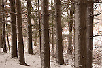 white pine trees in winter