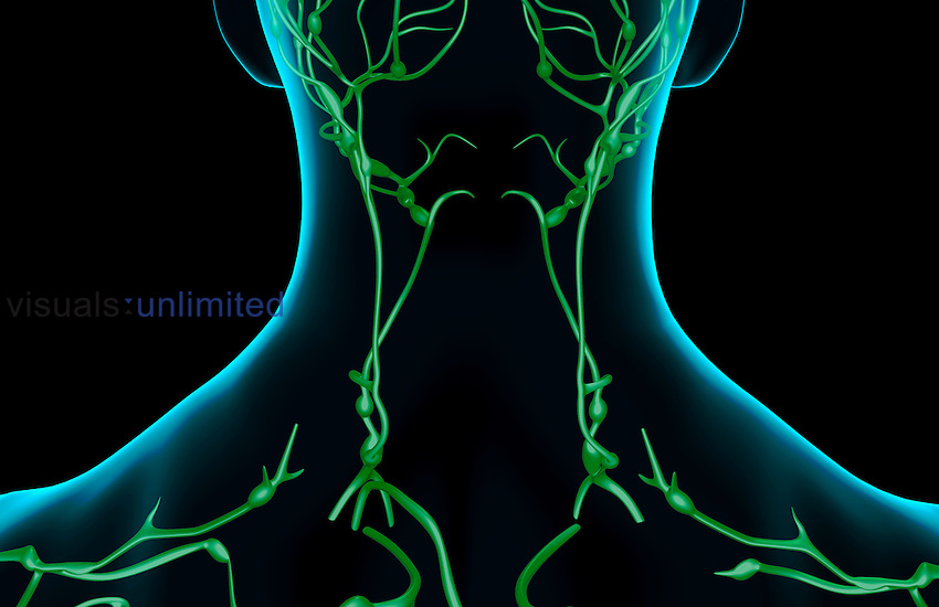 A posterior view of the lymph supply of the neck. The surface anatomy of the body is semi-transparent and tinted blue. Royalty Free
