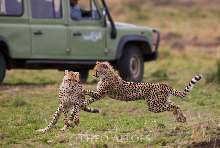 Grown cheetah cubs (Acinonyx jubatus) playing near safari vehicle, Maasai Mara, Kenya