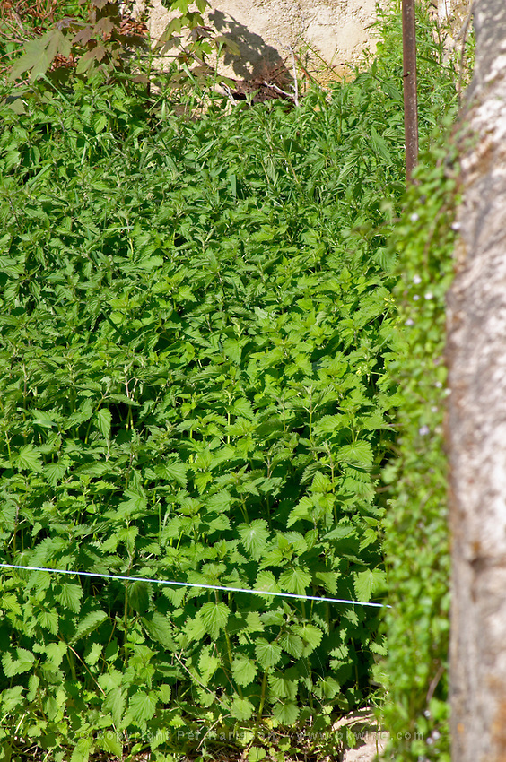 nettle plantation for biodynamic use monthelie cote de beaune burgundy france
