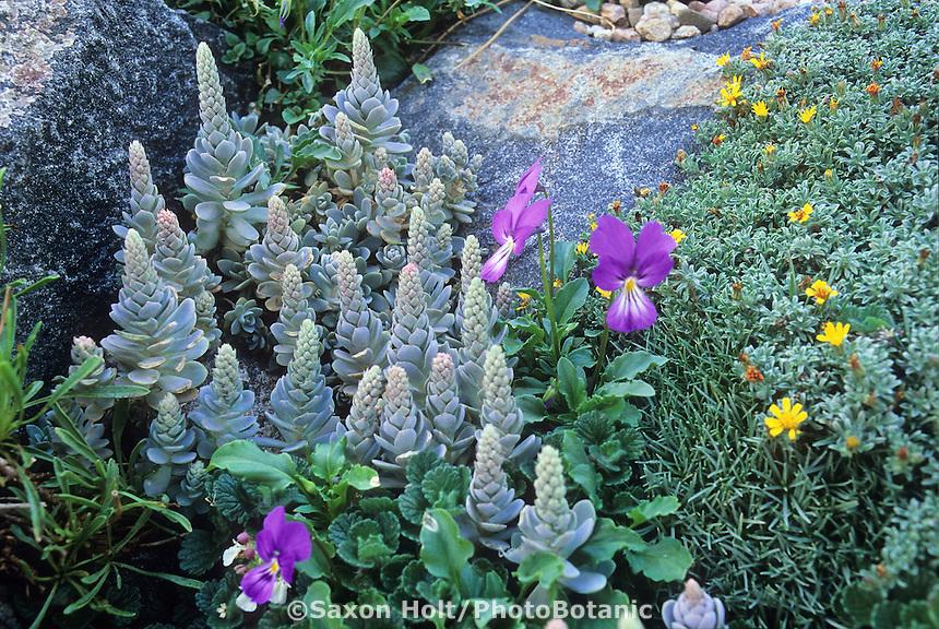 Orostachys furusei hardy succulent with Viola, Heterotheca, Teucrium in rock garden