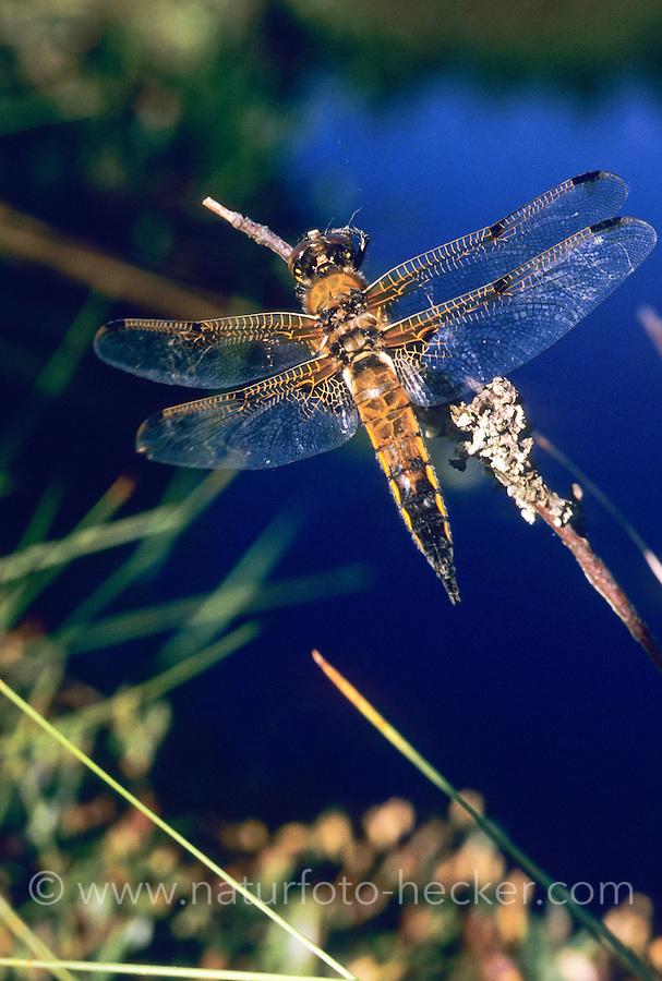 Vierfleck-Libelle, Vierfleck, Libellula quadrimaculata, Four-spotted Libellula, Four-spotted Chaser, Four-spotted Skimmer, La Libellule à quatre taches