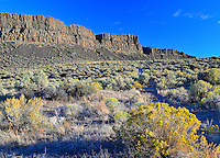 Trail to Frenchman Coulee's SW wall, with flowering Rabbitbrush in late afternoon light, Washington State.