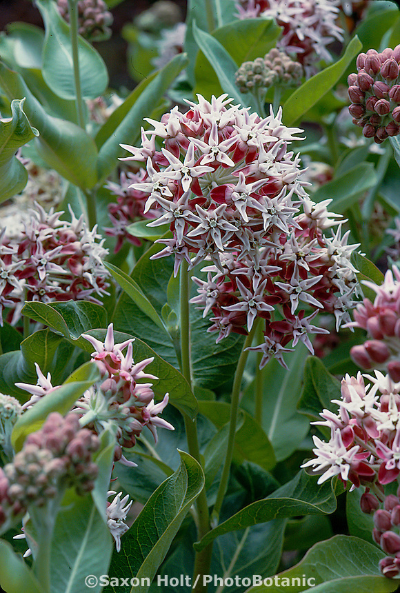 Asclepias speciosa  (Showy Milkweed, Butterfly Weed)
