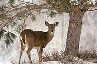 White-tailed doe standing in a wintery backyard garden.