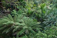 Le Domaine du Rayol:<br /> le jardin de Nouvelle-Z&eacute;lande, le long du ruisseau, foug&egrave;res arborescentes (Dicksonia &amp; Cyathea), Ropalostylis sapida, palmier le plus austral. et lin de Nouvelle-Z&eacute;lande (Phormium tenax).