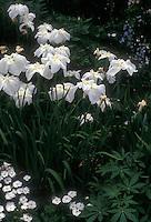 Iris 'Alpine Majesty' ensata irises, white flowered Japanese irises in bloom in spring in white garden with fragrant Dianthus pinks