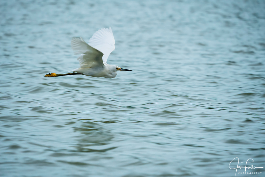 A Snowy Egret - Egretta thula, in flight in the Ria Lagartos Biosphere Reserve, a UNESCO World Biosphere Reserve in Yucatan, Mexico.