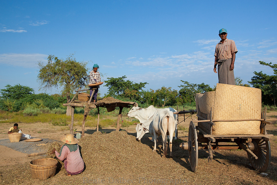 Farmers harvesting in a field in Bagan, Myanmar